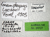Gnamptogenys laevior Forel, 1905 Label