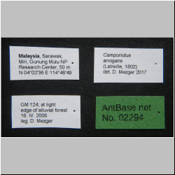 Camponotus arrogans Smith, 1858 Label