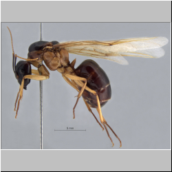 Camponotus arrogans Smith, 1858 lateral