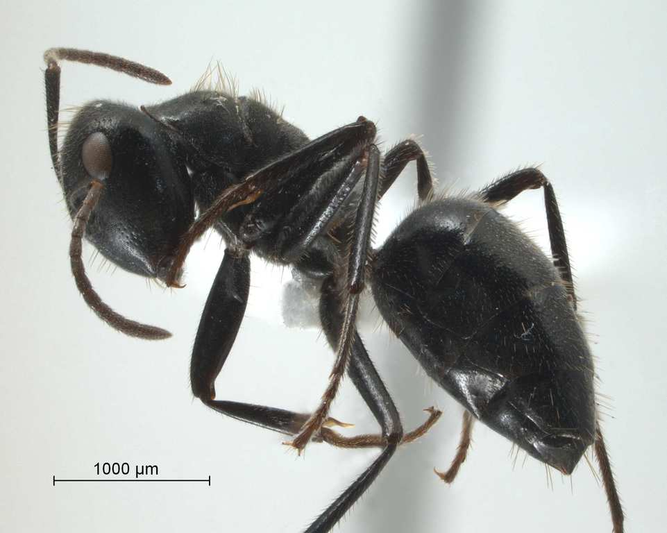 Camponotus sp 69 of SKY S.Yamane lateral