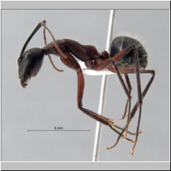Camponotus innexus Forel, 1902 lateral