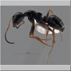 Camponotus piceus (Leach, 1825) lateral