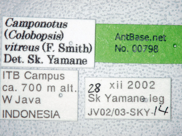 Camponotus vitreus Smith, 1860 Label