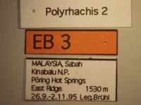 Polyrhachis 2 Label