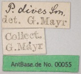 Polyrhachis dives Smith, 1857 Label