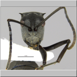 Polyrhachis inermis Smith,1858 frontal