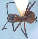 Polyrhachis olybria Forel, 1912 dorsal
