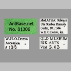 Polyrhachis olybria Forel, 1912 Label