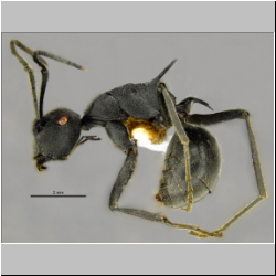 Polyrhachis sokolova Forel, 1902 lateral
