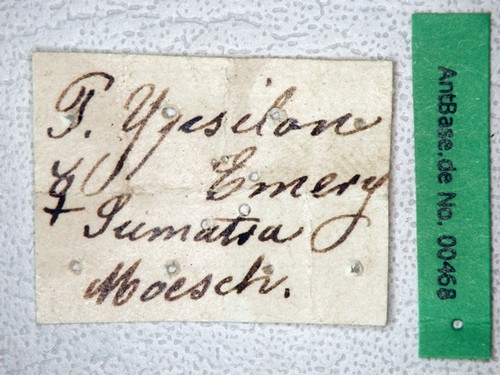 Polyrhachis ypsilon Emery,1887 Label