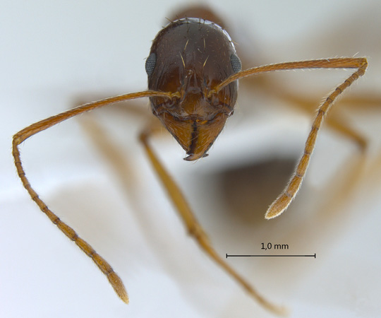Aphaenogaster sp. frontal