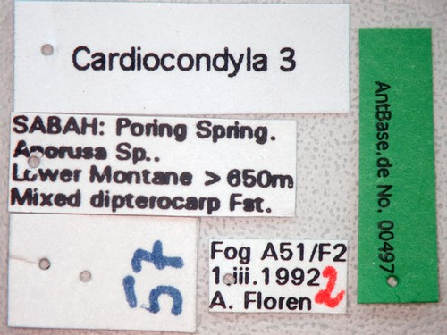 Cardiocondyla 3 Label