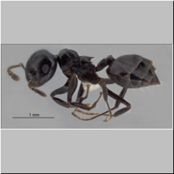 Crematogaster aberrans Forel, 1892 lateral