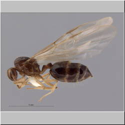 Crematogaster baduvi Forel, 1912 lateral