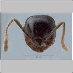 Crematogaster daisyi Forel, 1901 frontal