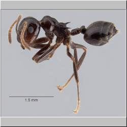 Crematogaster daisyi Forel, 1901 lateral