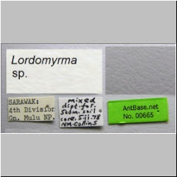 Lordomyrma sp. Taylor Label