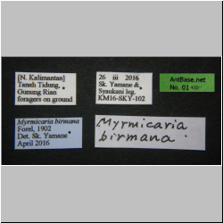 Myrmicaria birmana Forel, 1902 Label