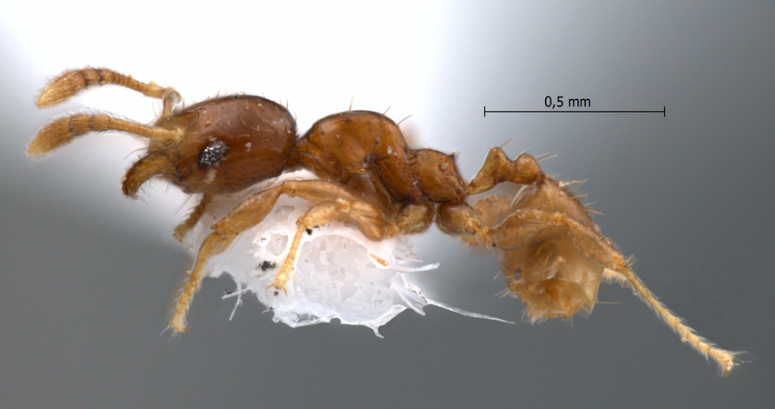Pheidole butteli Forel, 1913 lateral