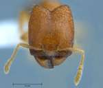 Pheidole butteli Forel, 1913 frontal