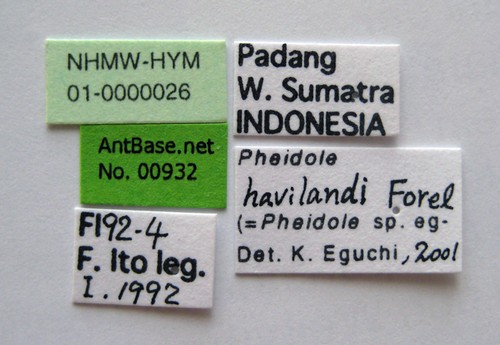 Pheidole havilandi Forel, 1911 Label