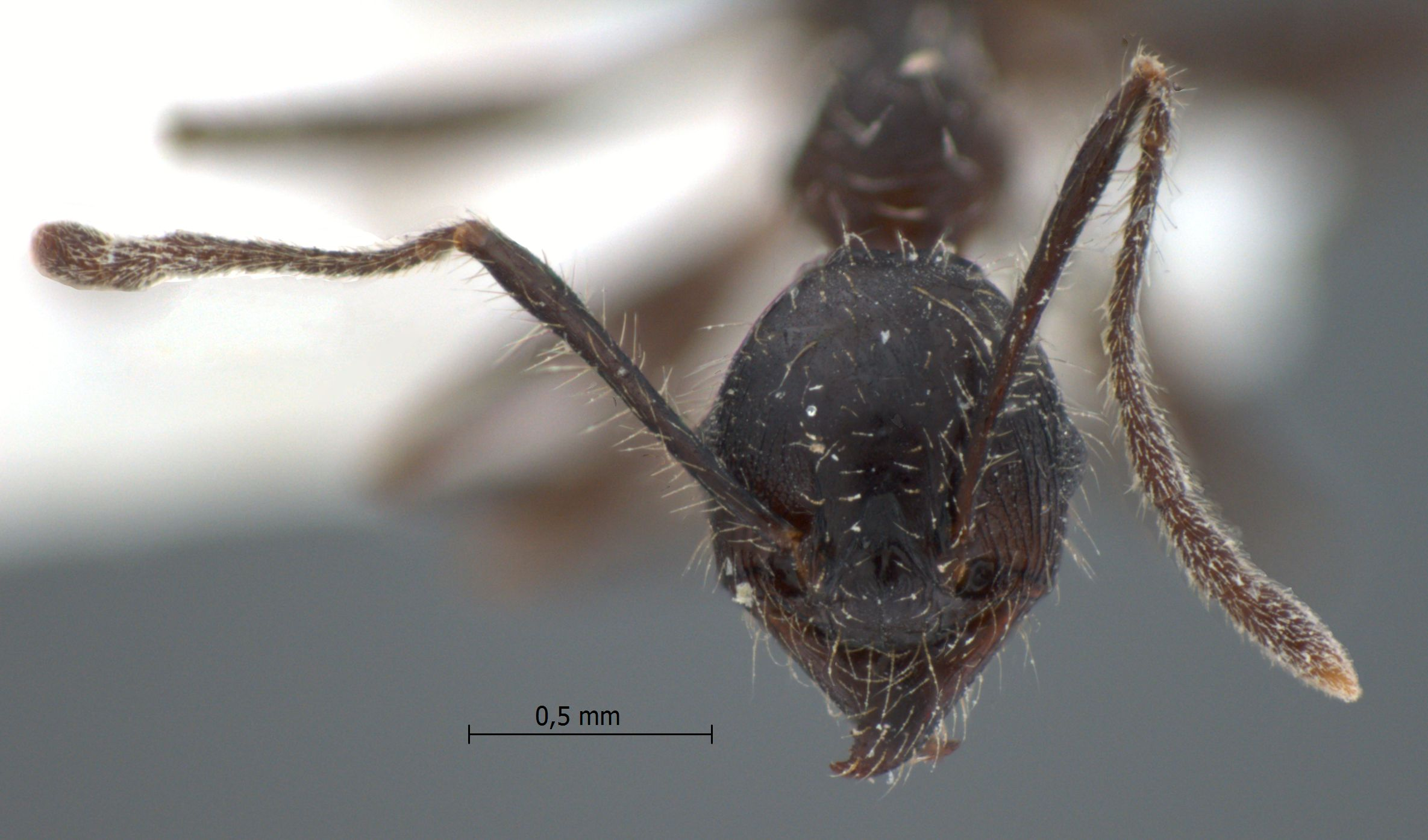 Pheidole modiglianii Emery, 1900 frontal