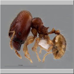 Pheidole rabo Forel,1913 lateral