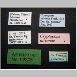 Cryptopone taivanae Forel, 1913 Label