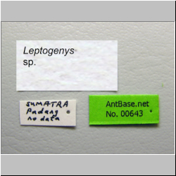 Leptogenys sp. Label