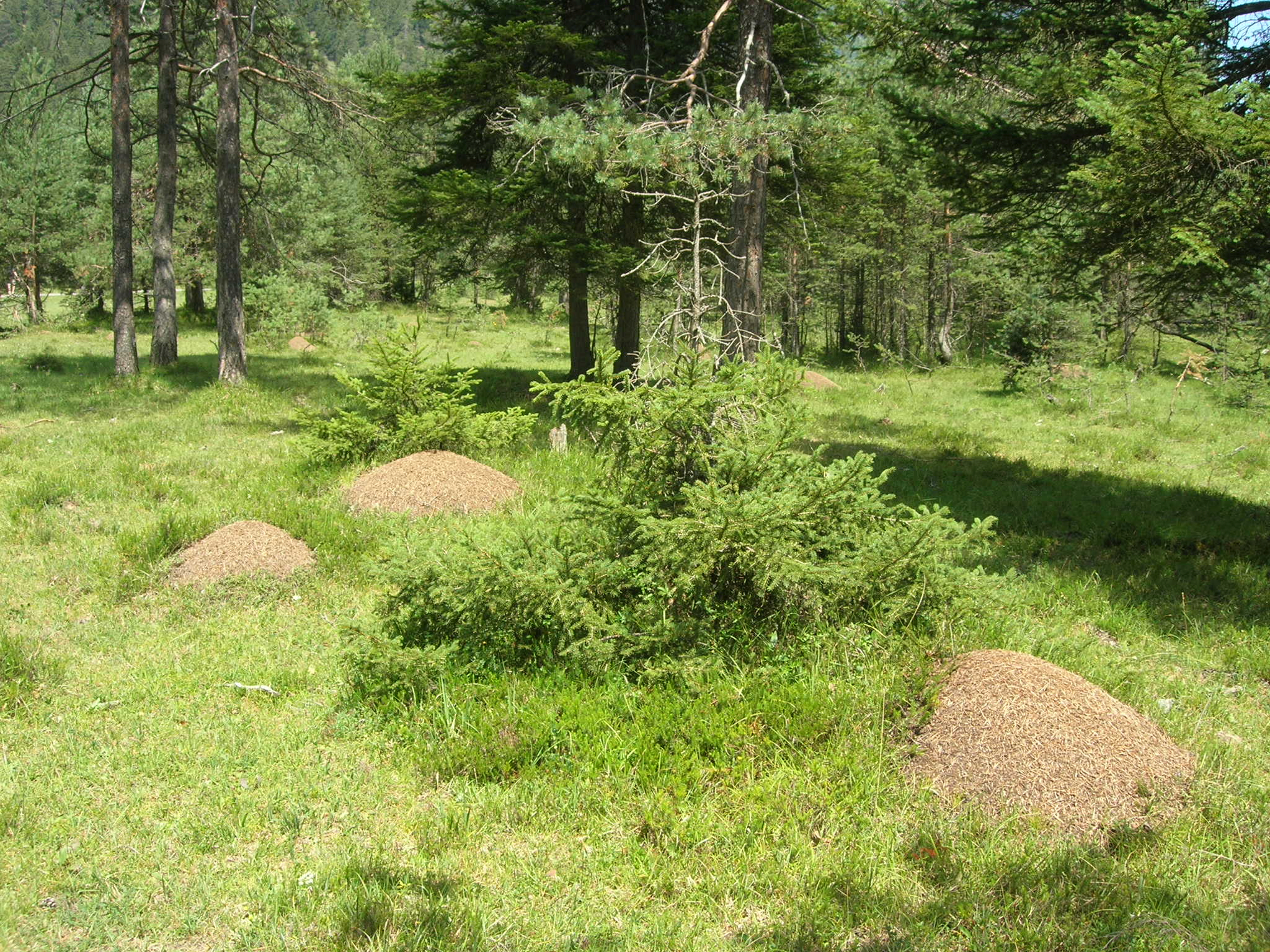 ant hills in open spruce forest