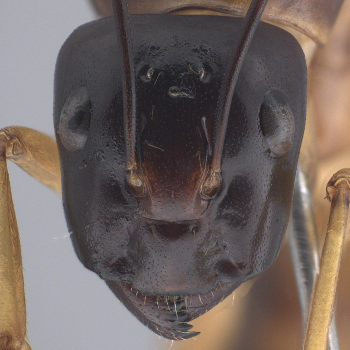A Taxonomic Ant Picturebase Of Asia And Europe